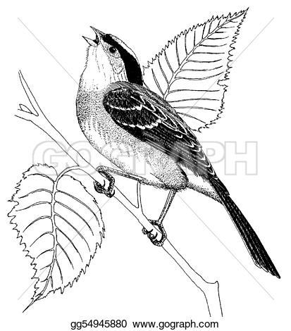 White-crowned Sparrow clipart #10, Download drawings