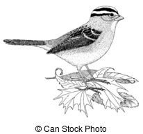 White-crowned Sparrow clipart #15, Download drawings