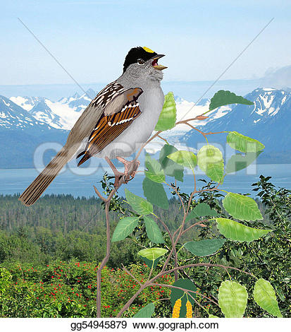 White-crowned Sparrow clipart #8, Download drawings