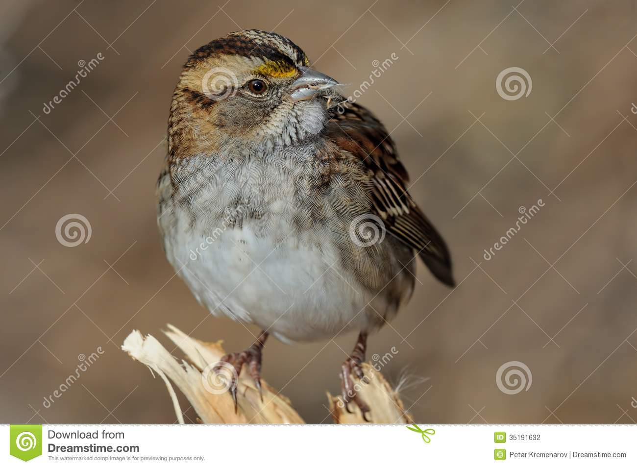 White-crowned Sparrow clipart #11, Download drawings