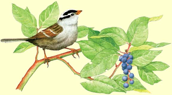 White-crowned Sparrow clipart #3, Download drawings