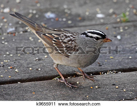 White-crowned Sparrow clipart #6, Download drawings