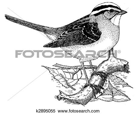 White-crowned Sparrow clipart #5, Download drawings
