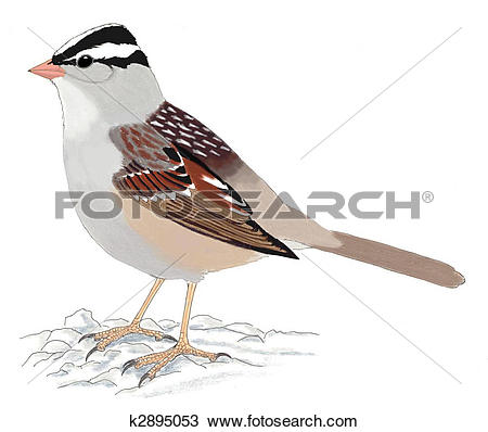 White-crowned Sparrow clipart #18, Download drawings