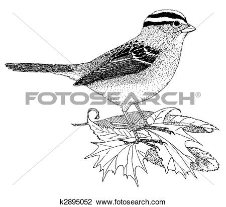 White-crowned Sparrow clipart #17, Download drawings
