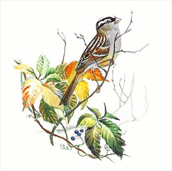 White-crowned Sparrow clipart #19, Download drawings