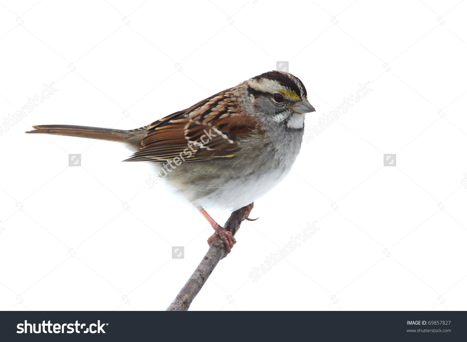White-crowned Sparrow clipart #9, Download drawings