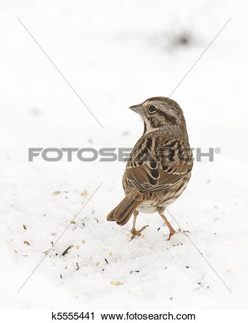 White-crowned Sparrow clipart #16, Download drawings