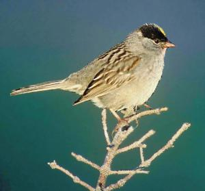 White-crowned Sparrow clipart #13, Download drawings