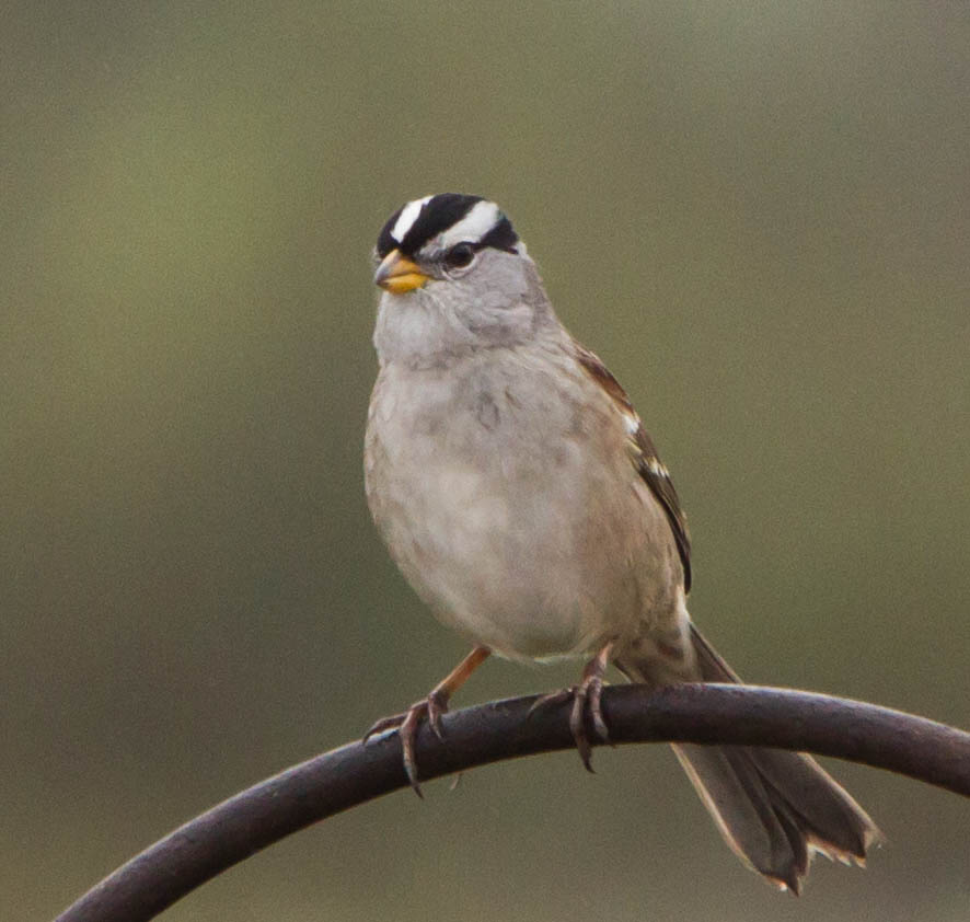 White-crowned Sparrow svg #6, Download drawings
