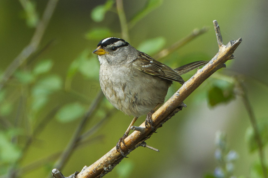 White-crowned Sparrow svg #3, Download drawings