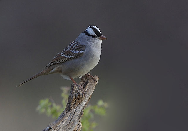 White-crowned Sparrow svg #11, Download drawings
