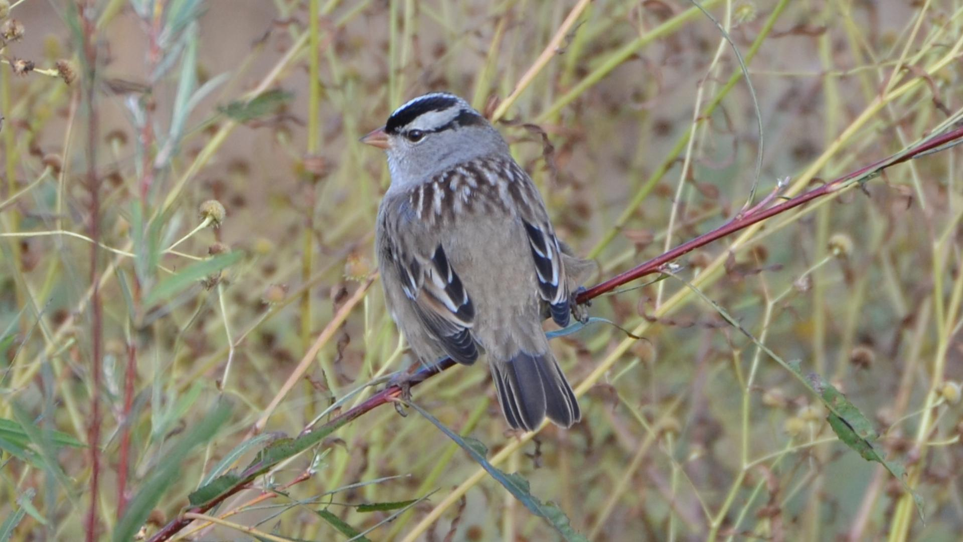 White-crowned Sparrow svg #2, Download drawings