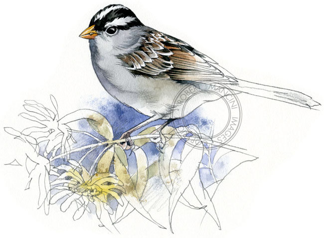 White-crowned Sparrow svg #8, Download drawings