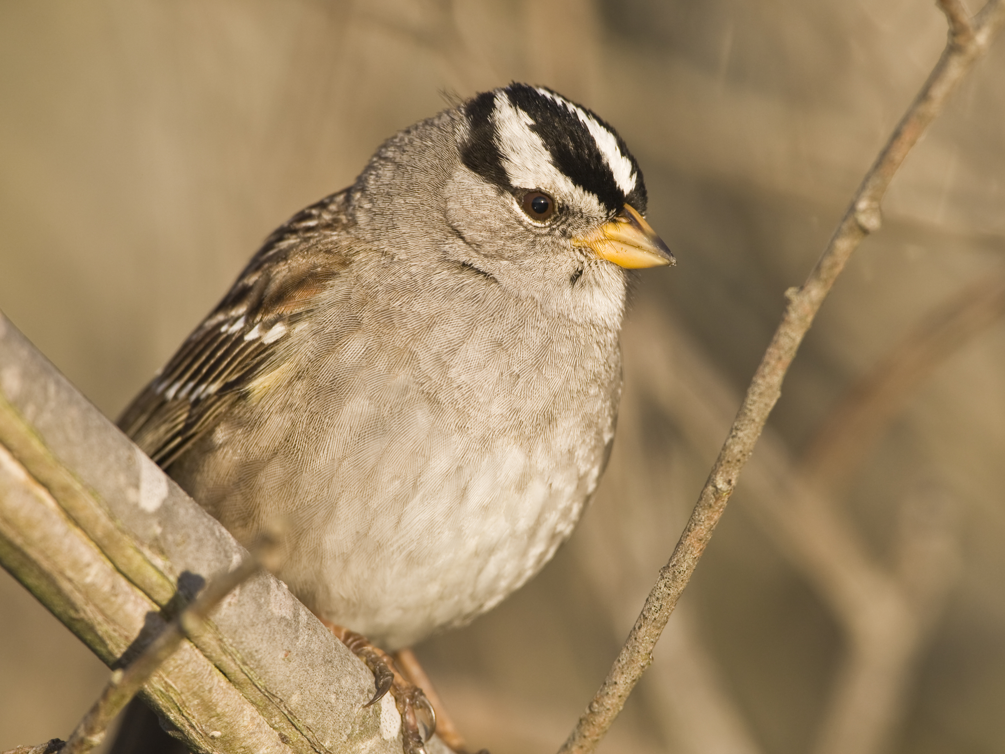 White-crowned Sparrow svg #5, Download drawings