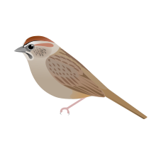 White-crowned Sparrow svg #19, Download drawings