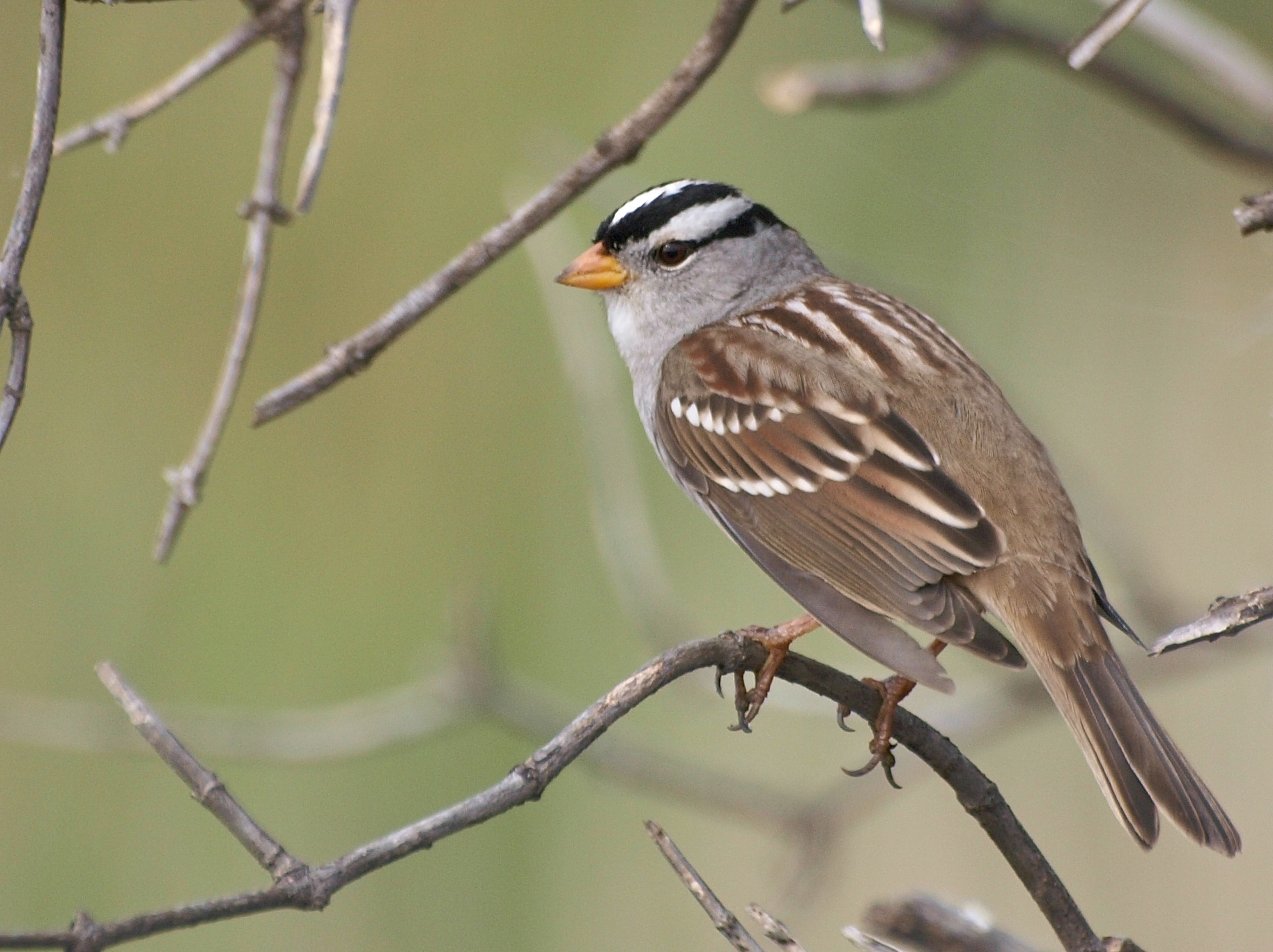 White-crowned Sparrow svg #15, Download drawings