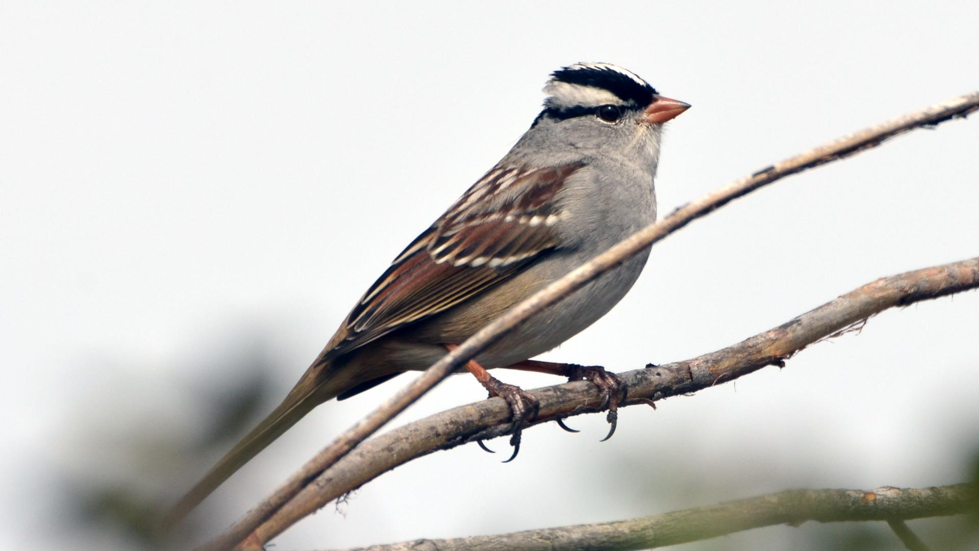 White-crowned Sparrow svg #12, Download drawings