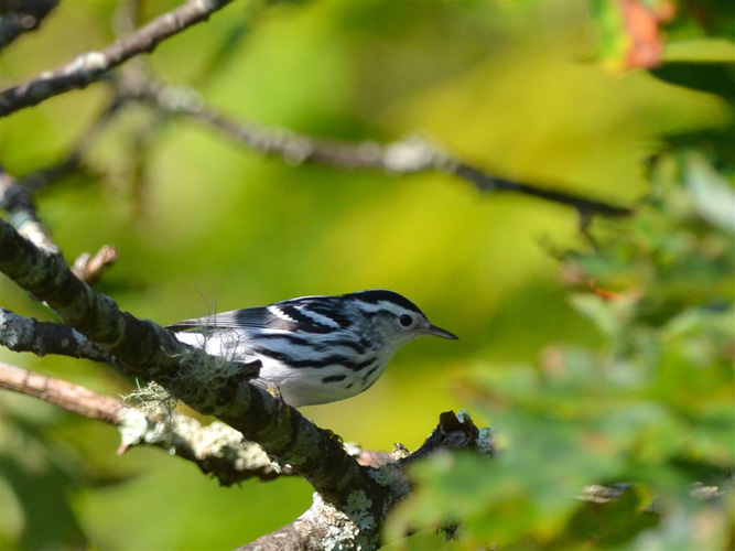 White-eared Warbler clipart #11, Download drawings
