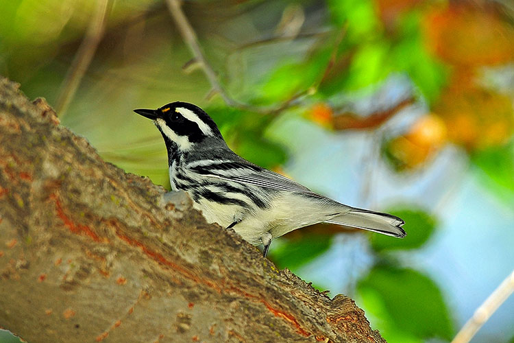 White-eared Warbler clipart #10, Download drawings