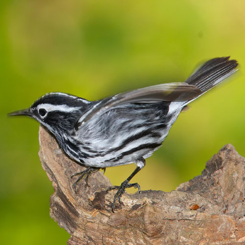 White-eared Warbler clipart #20, Download drawings