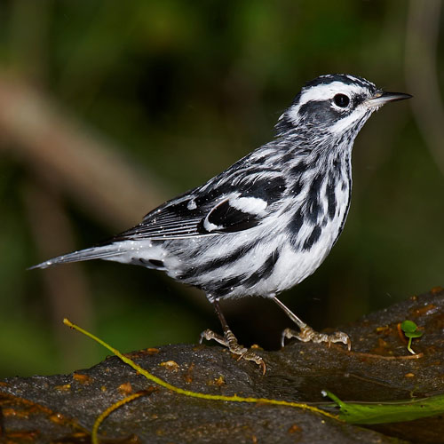 White-eared Warbler clipart #19, Download drawings