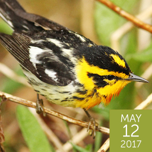 White-eared Warbler clipart #18, Download drawings