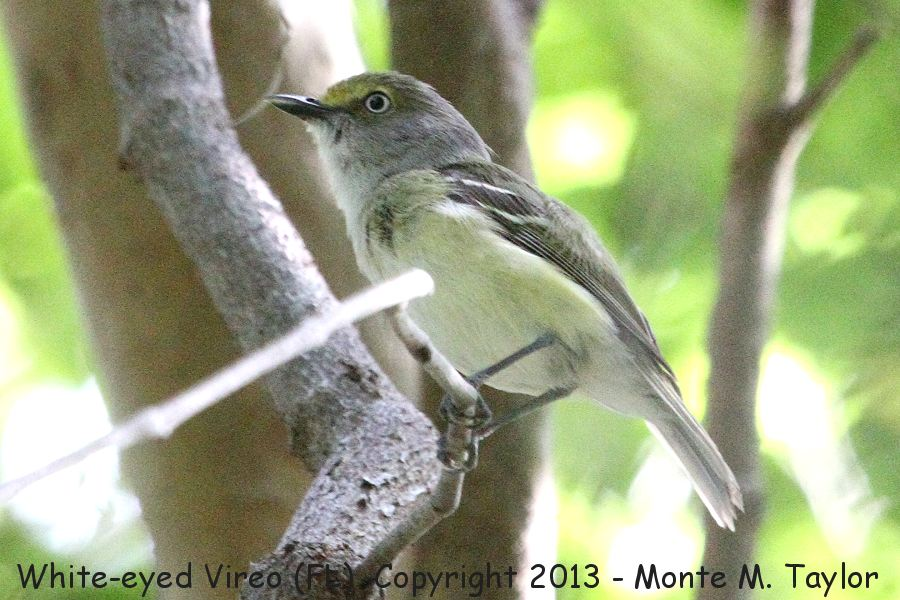 White-eyed Virio clipart #13, Download drawings