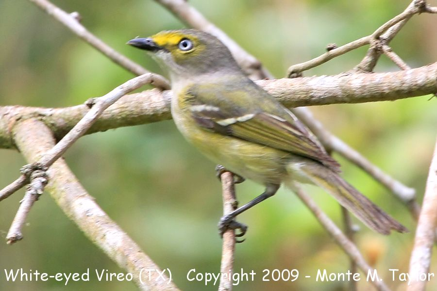 White-eyed Virio clipart #9, Download drawings