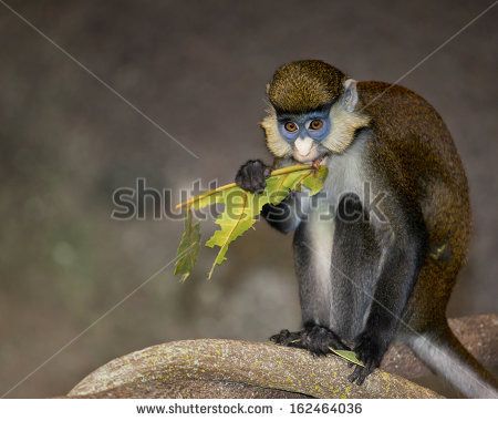 White-faced Guenon clipart #3, Download drawings