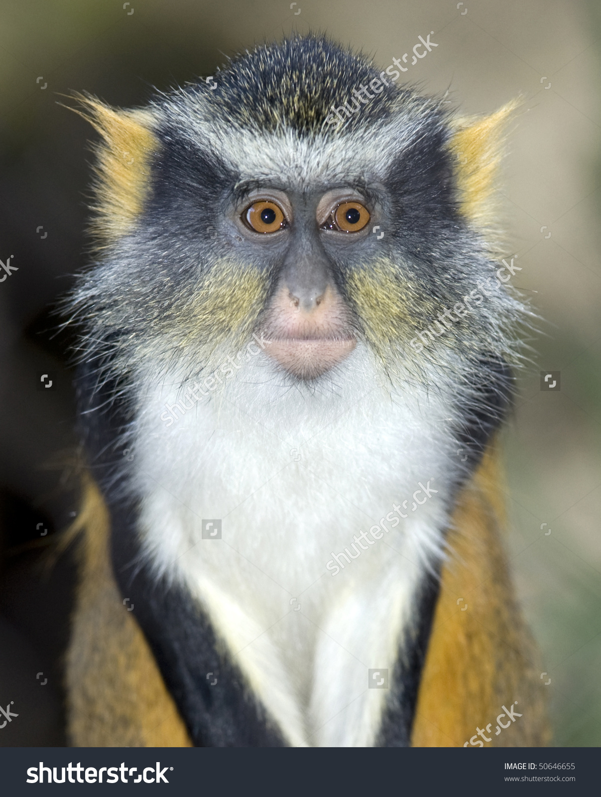 White-faced Guenon clipart #5, Download drawings