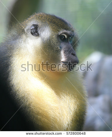 White-faced Guenon clipart #2, Download drawings