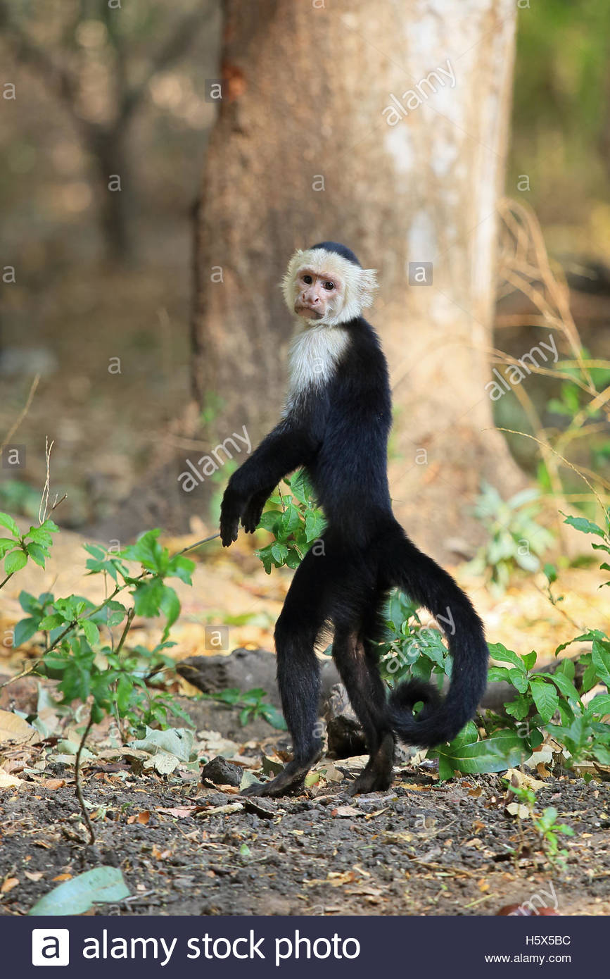 White-faced Guenon clipart #8, Download drawings