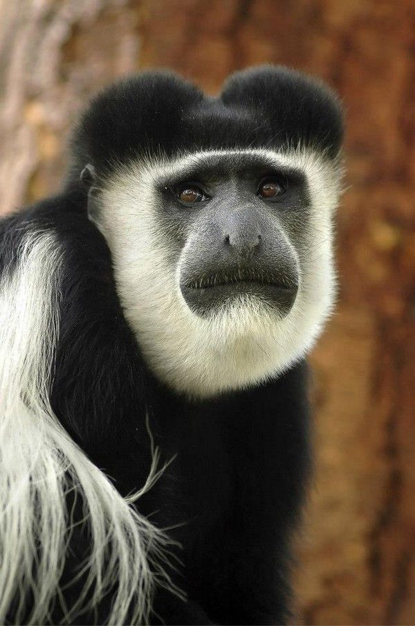 White-faced Guenon clipart #9, Download drawings