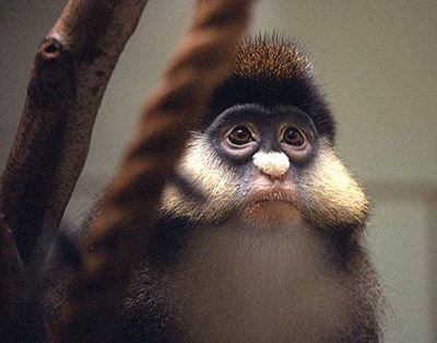 White-faced Guenon clipart #7, Download drawings