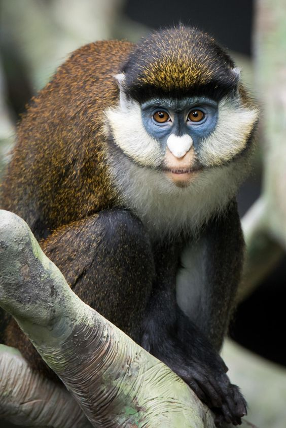 White-faced Guenon clipart #17, Download drawings