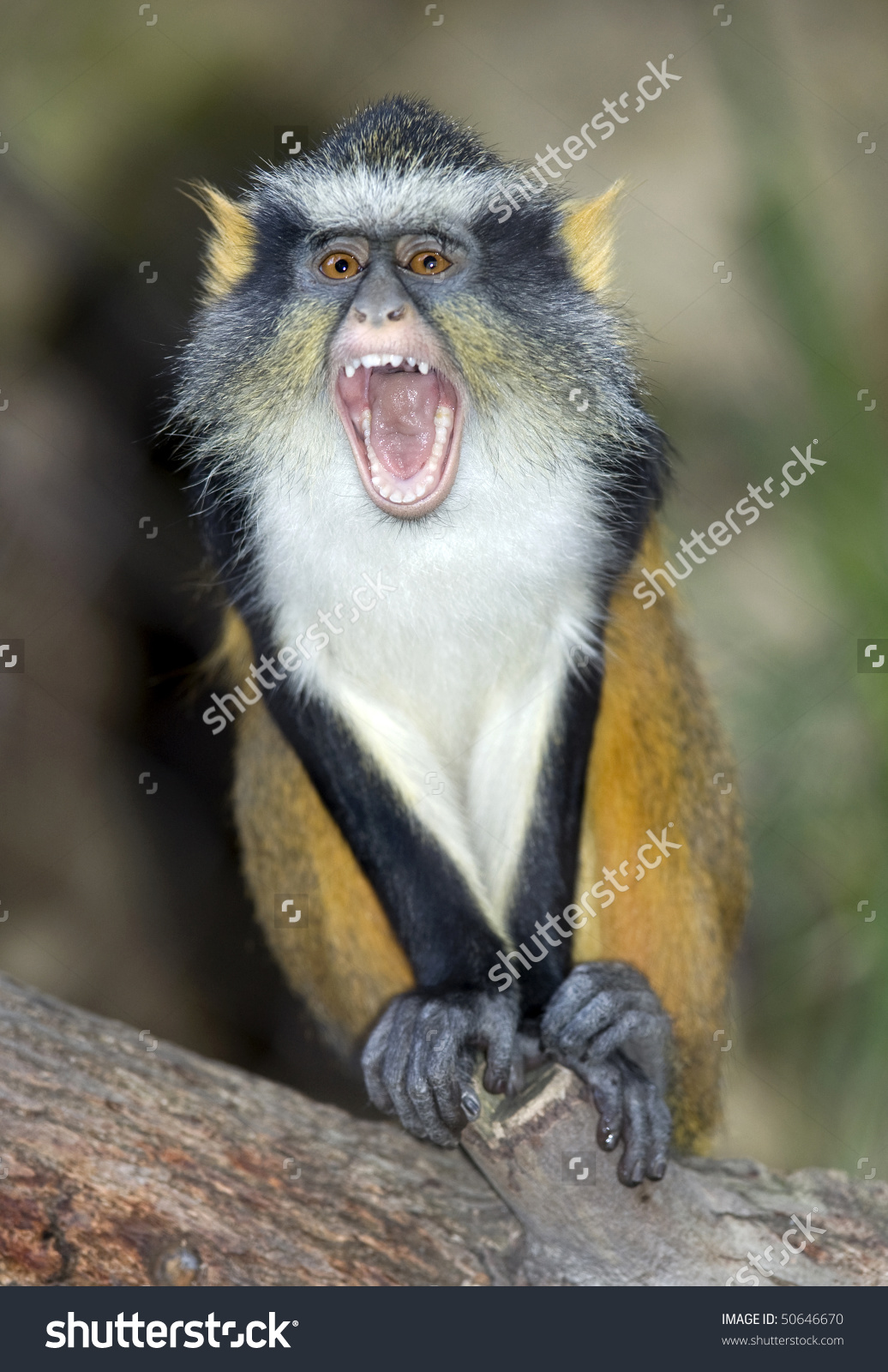 White-faced Guenon clipart #4, Download drawings