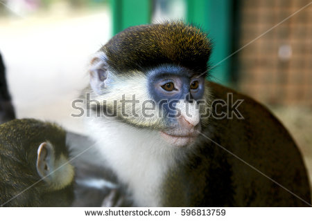 White-faced Guenon clipart #14, Download drawings