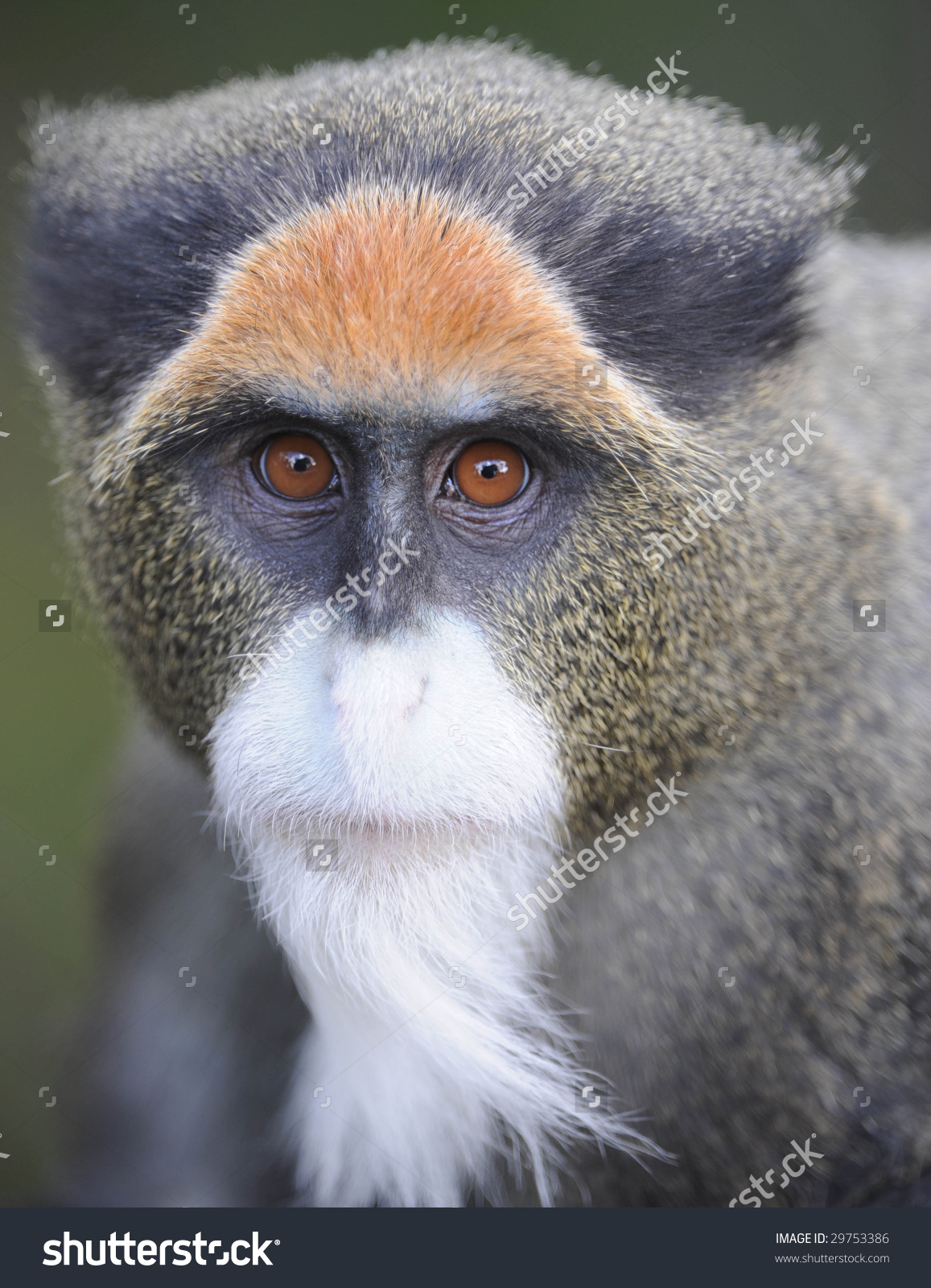 White-faced Guenon clipart #6, Download drawings