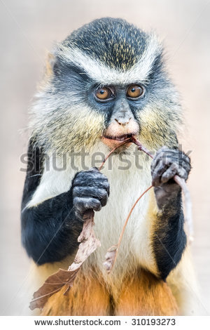 White-faced Guenon clipart #16, Download drawings