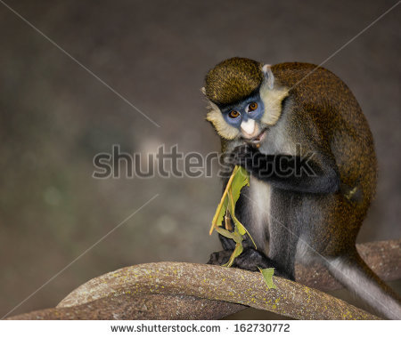 White-faced Guenon clipart #15, Download drawings