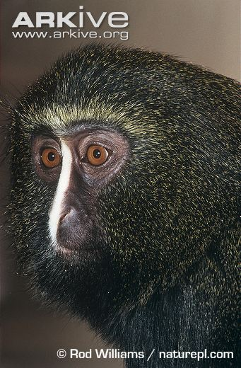 White-faced Guenon svg #9, Download drawings