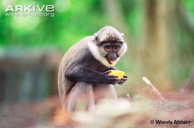 White-faced Guenon svg #12, Download drawings