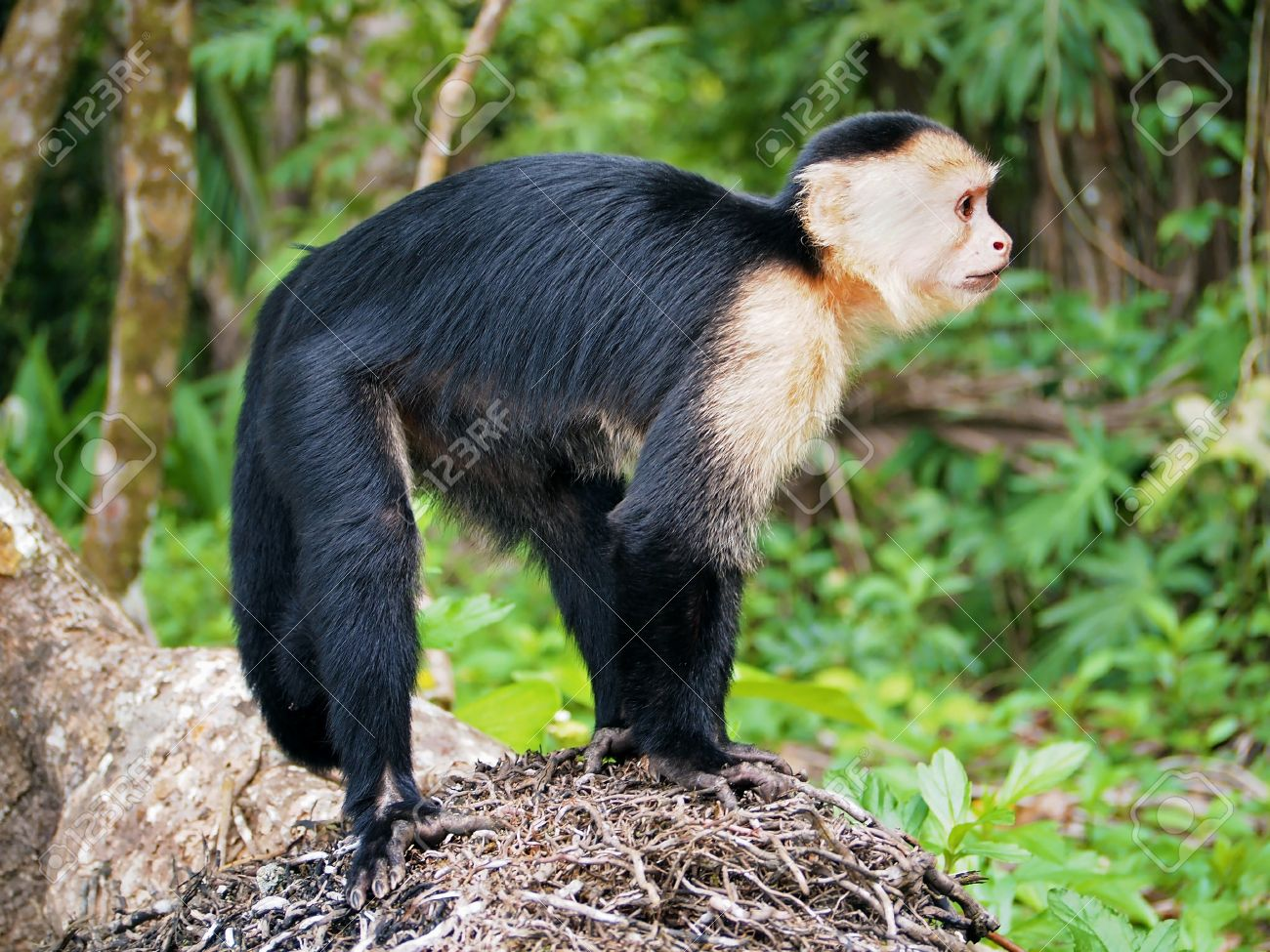White-faced Guenon svg #13, Download drawings