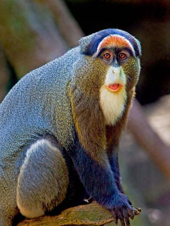 White-faced Guenon svg #16, Download drawings