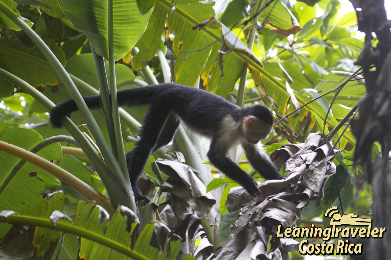 White-faced Guenon svg #20, Download drawings