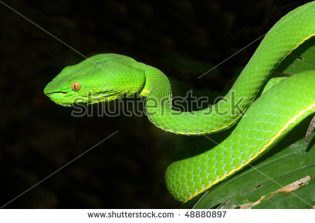 White-lipped Pit Viper clipart #20, Download drawings