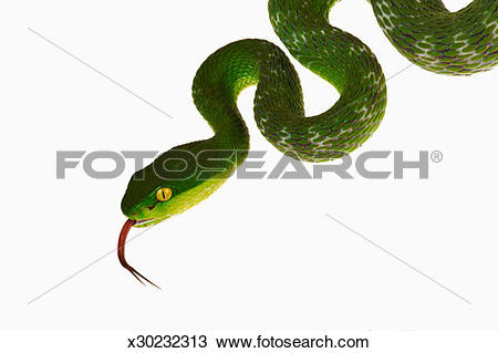 White-lipped Pit Viper clipart #13, Download drawings