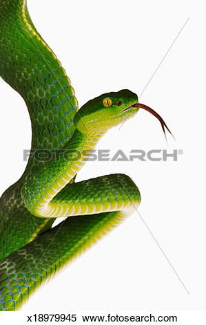 White-lipped Pit Viper clipart #10, Download drawings