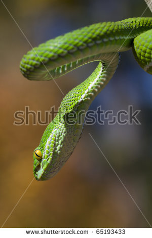 White-lipped Pit Viper clipart #8, Download drawings